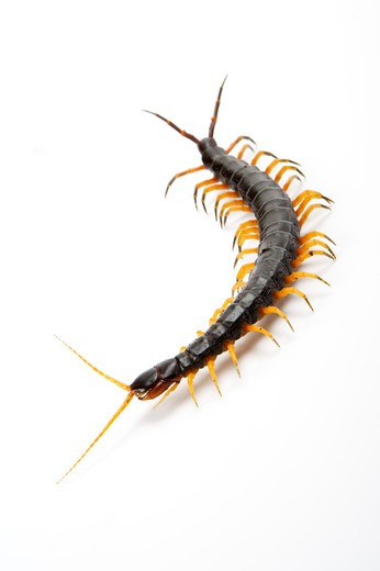 Stock Photo: 1397R-75883 Scolopendra Subspinipes Mutilans, Centipede, Arthropod