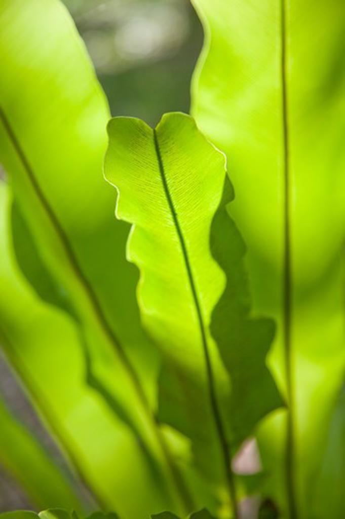 Stock Photo: 1397R-76093 Leaf, Leaf Vein, Miaoli, Taiwan