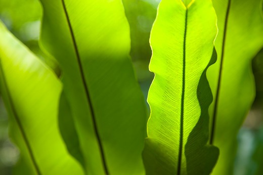 Leaf, Leaf Vein, Miaoli, Taiwan : Stock Photo