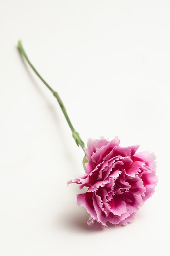 Stock Photo: 1397R-76381 Pink carnation on white background, close-up