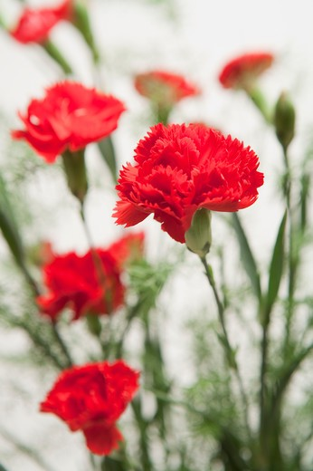 Stock Photo: 1397R-76390 Close up of Red Carnations