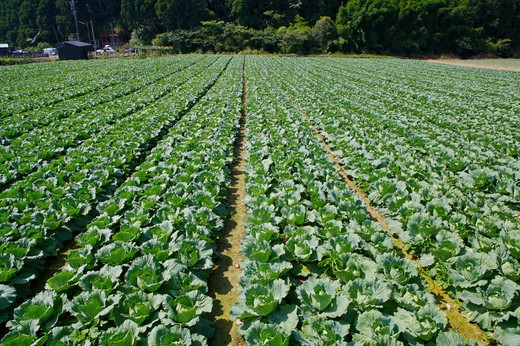 Stock Photo: 1397R-76580 Cabbage, Yilan, Taiwan, Asia