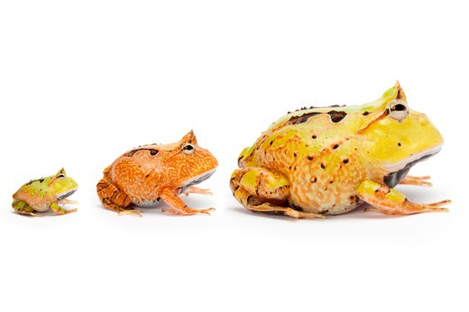 Stock Photo: 1397R-76737 Ornate Horned frog, Ceratophrys cornuta,