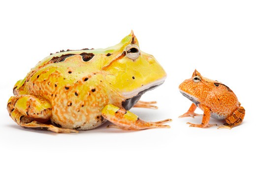 Ornate Horned frog, Ceratophrys cornuta, : Stock Photo