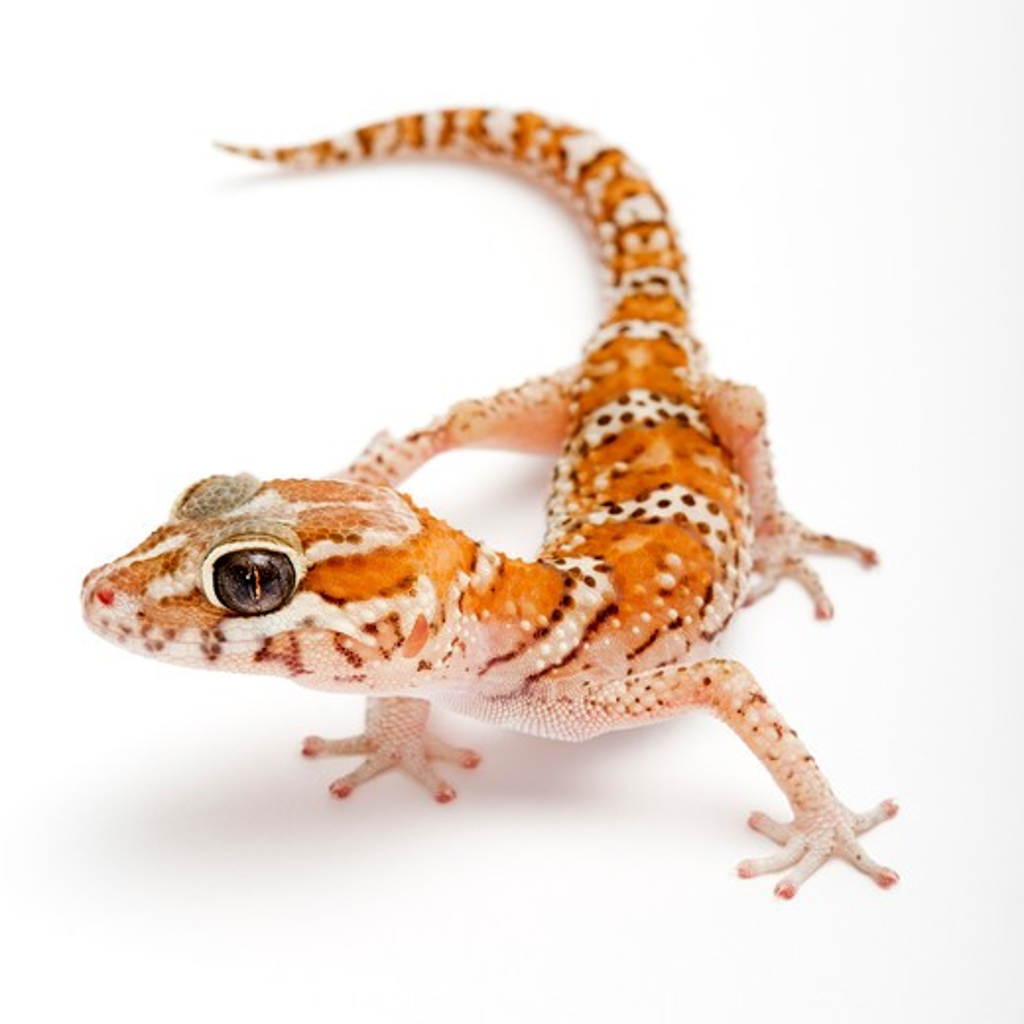 Panther gecko (Malagasy Ground Gecko), Paroedura pictus , : Stock Photo