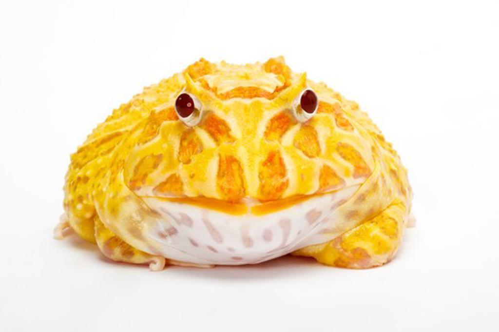 Stock Photo: 1397R-76793 Ornate Horned frog, Ceratophrys cranwelli, Albino,