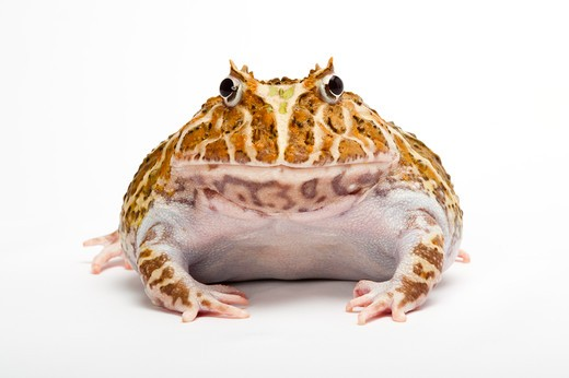 Ornate Horned frog, Cranwell's Horned Frog, Ceratophrys cranwelli, : Stock Photo