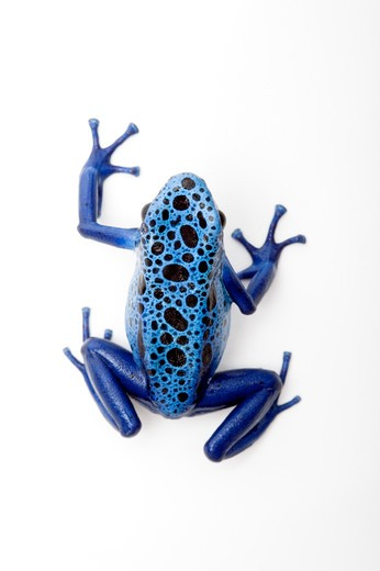 Blue Poison Dart frog, Dendrobates tinctorius azureus, : Stock Photo