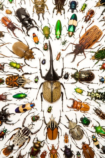 Stock Photo: 1397R-76943 Stag Beetle, Longhorn Beetle, Scarab Beetle, Jewel Beetle, Beetle, Insect, Coleoptera