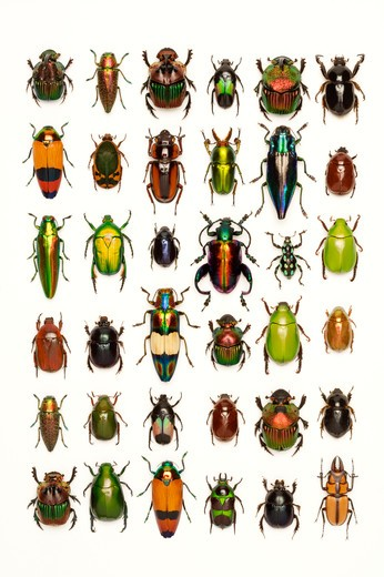 Stock Photo: 1397R-76956 Scarab Beetle, Stag Beetle, Jewel Beetle, Beetle, Insect, Coleoptera