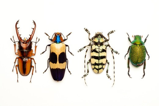 Stock Photo: 1397R-76967 Stag Beetle, Longhorn Beetle, Scarab Beetle, Jewel Beetle, Beetle, Insect, Coleoptera