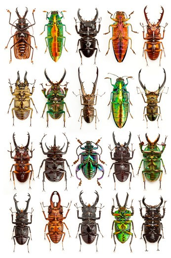 Stock Photo: 1397R-76985 Stag Beetle, Longhorn Beetle, Jewel Beetle, Beetle, Insect, Coleoptera