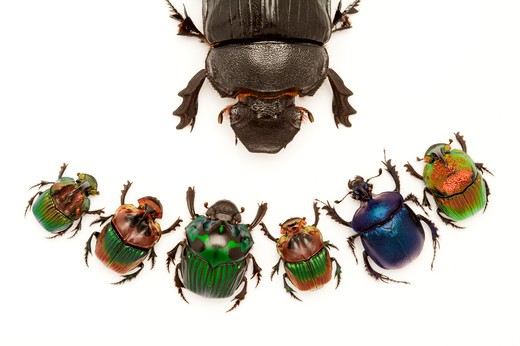 Stock Photo: 1397R-77001 Scarab Beetle, Beetle, Insect, Coleoptera