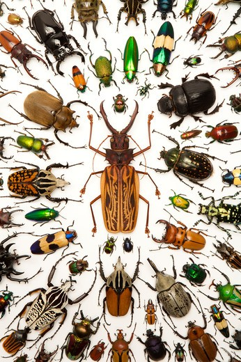 Stag Beetle, Longhorn Beetle, Scarab Beetle, Jewel Beetle, Beetle, Insect, Coleoptera : Stock Photo