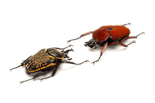 Stock Photo: 1397R-77004 Scarab Beetle, Beetle, Insect, Coleoptera