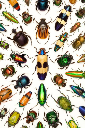 Stock Photo: 1397R-77010 Scarab Beetle, Jewel Beetle, Beetle, Insect, Coleoptera