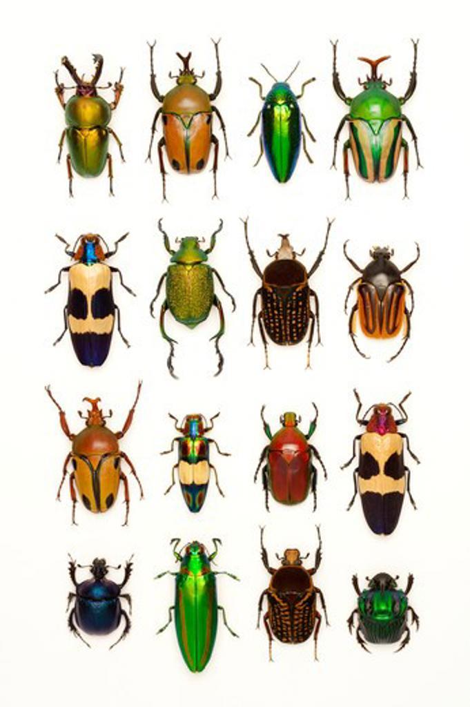 Stock Photo: 1397R-77044 Scarab Beetle, Stag Beetle, Jewel Beetle, Beetle, Insect, Coleoptera