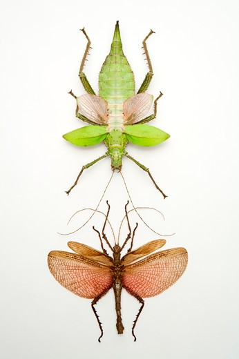 Stick Insect, Beetle, Insect, Coleoptera : Stock Photo