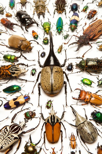 Scarab Beetle, Stag Beetle, Jewel Beetle, Beetle, Insect, Coleoptera : Stock Photo