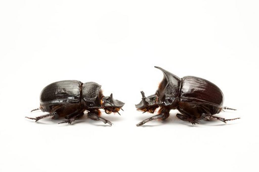 Scarab Beetle, Beetle, Insect, Coleoptera : Stock Photo
