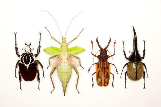 Stock Photo: 1397R-77103 Longhorn Beetle, Scarab Beetle, Stick Insect, Beetle, Insect, Coleoptera