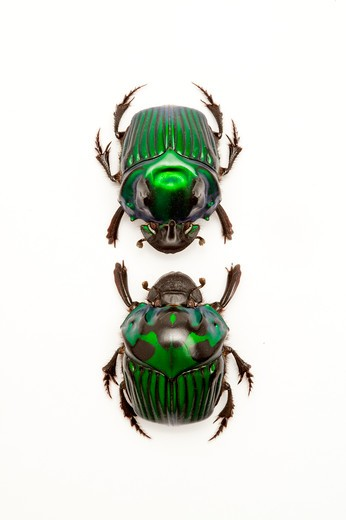 Scarab Beetle, Beetle, Insect, Coleoptera : Stock Photo
