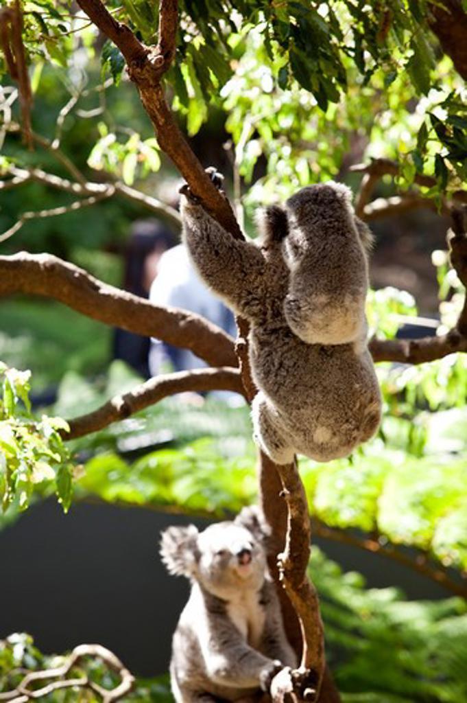 Koala family in eucalyptus tree : Stock Photo