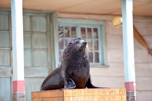 Stock Photo: 1397R-77167 Sea Lion