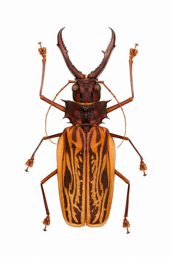Stock Photo: 1397R-77174 Longhorn Beetle, Beetle, Insect, Coleoptera, Macrodontia cervicornis ,
