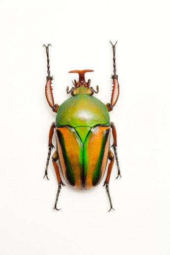 Stock Photo: 1397R-77186 Scarab Beetle, Beetle, Insect, Coleoptera,