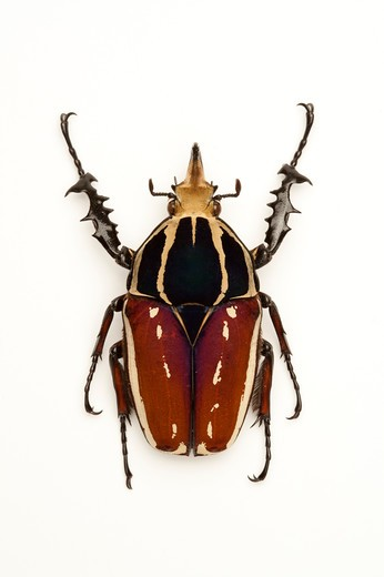 Stock Photo: 1397R-77197 Scarab Beetle, Beetle, Insect, Coleoptera, Cetoniidae,