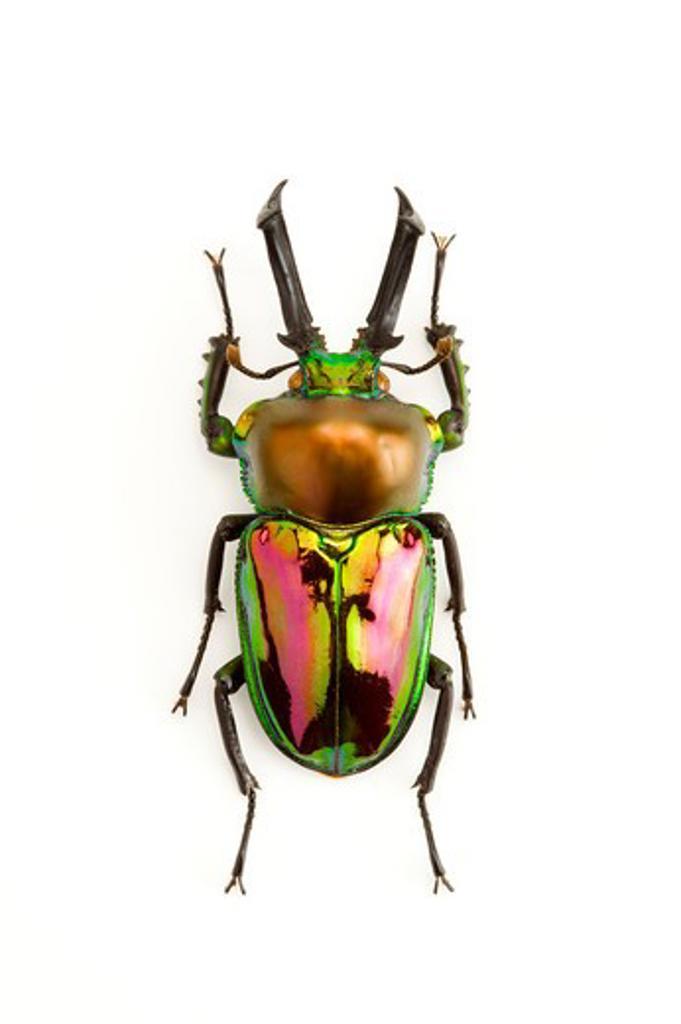 Stock Photo: 1397R-77207 Stag Beetle, Beetle, Insect, Coleoptera, Phalacrognatus muelleri ,