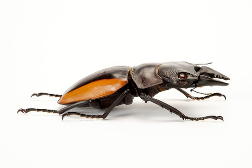 Stock Photo: 1397R-77220 Stag Beetle, Beetle, Insect, Coleoptera,