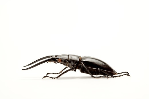 Stock Photo: 1397R-77229 Stag Beetle, Beetle, Insect, Coleoptera,