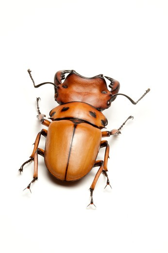 Stock Photo: 1397R-77250 Stag Beetle, Beetle, Insect, Coleoptera, Homoderus ? melleyi,