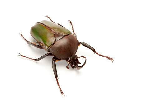 Stock Photo: 1397R-77259 Scarab Beetle, Beetle, Insect, Coleoptera,
