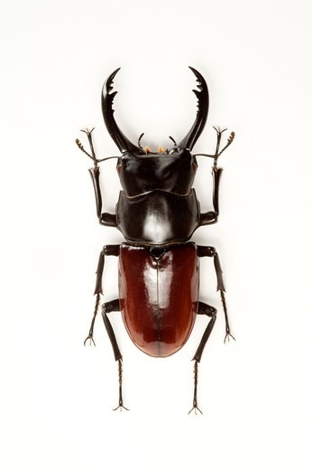 Stag Beetle, Beetle, Insect, Coleoptera, : Stock Photo