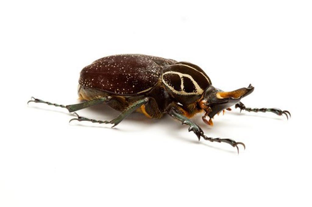 Stock Photo: 1397R-77290 Scarab Beetle, Beetle, Insect, Coleoptera, Cetoniidae,