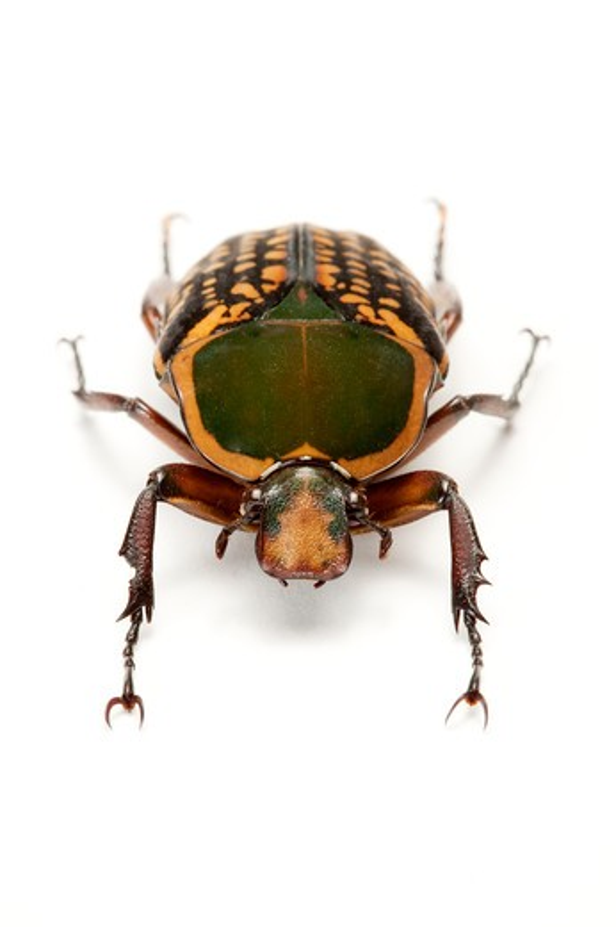 Stock Photo: 1397R-77305 Scarab Beetle, Beetle, Insect, Coleoptera, Cetoniidae,