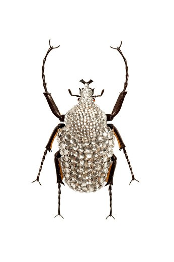 Stock Photo: 1397R-77314 Scarab Beetle, Beetle, Insect, Coleoptera, Cetoniidae,