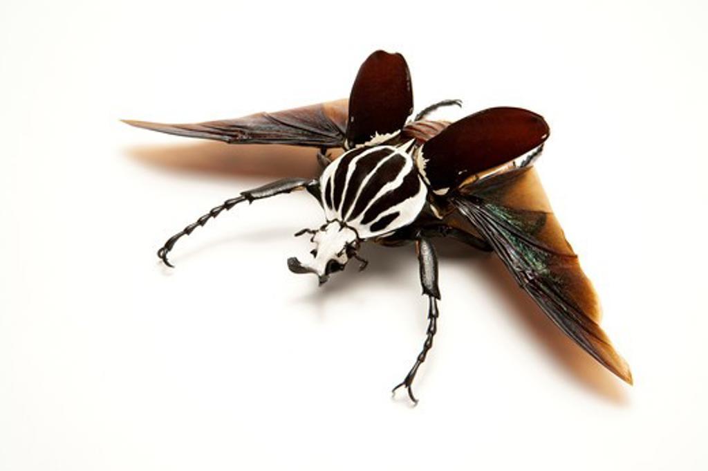 Stock Photo: 1397R-77321 Scarab Beetle, Beetle, Insect, Coleoptera, Cetoniidae,