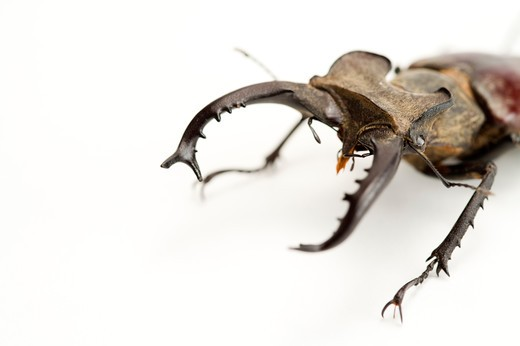 Stock Photo: 1397R-77323 Stag Beetle, Beetle, Insect, Coleoptera, Lucanus taiwanus Miwa,