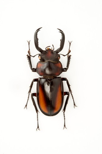 Stock Photo: 1397R-77335 Stag Beetle, Beetle, Insect, Coleoptera, Rhaetulus crenatus speciosus,