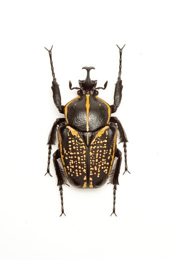 Stock Photo: 1397R-77336 Scarab Beetle, Beetle, Insect, Coleoptera, Cetoniidae,