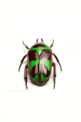 Stock Photo: 1397R-77346 Scarab Beetle, Beetle, Insect, Coleoptera, Cetoniidae,