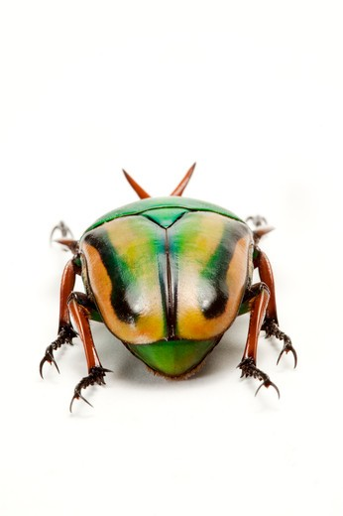 Scarab Beetle, Beetle, Insect, Coleoptera, : Stock Photo