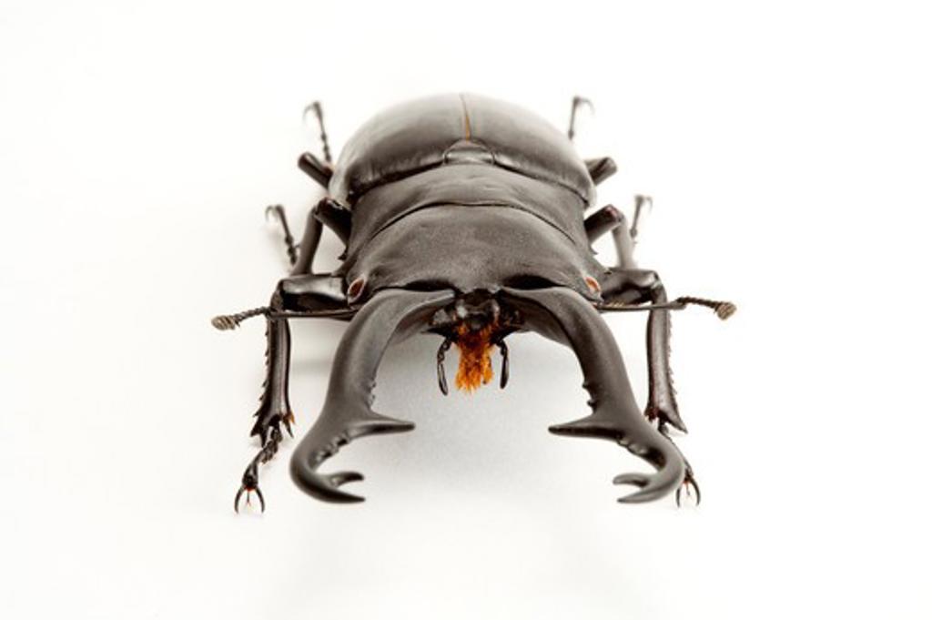 Stag Beetle, Beetle, Insect, Coleoptera, Prosopocoilus giraffa keisukei, : Stock Photo