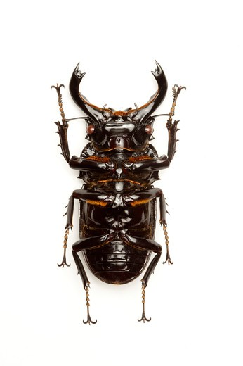 Stag Beetle, Beetle, Insect, Coleoptera, Mesotopus tarandus, : Stock Photo