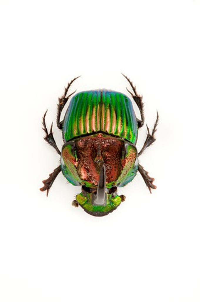Scarabaeidae, Beetle, Insect, Coleoptera, Scarabaeidae, : Stock Photo