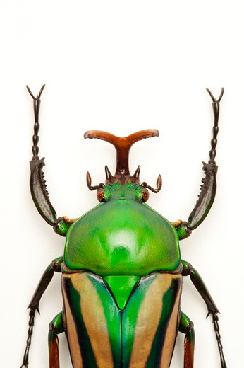 Scarab Beetle, Beetle, Insect, Coleoptera, Cetoniidae, : Stock Photo